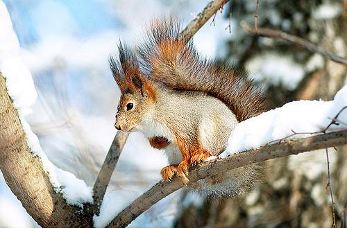 veverita-iarna