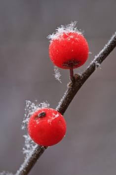 winterberrysnowflakemacro2