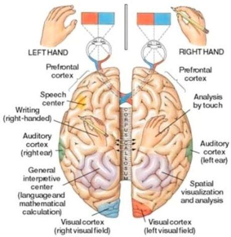 brain-emisfere-functii