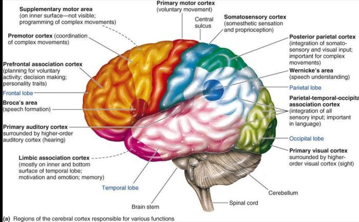 brain_sections_and_functions1318611282834