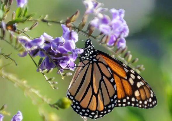 0-Monarch-butterf