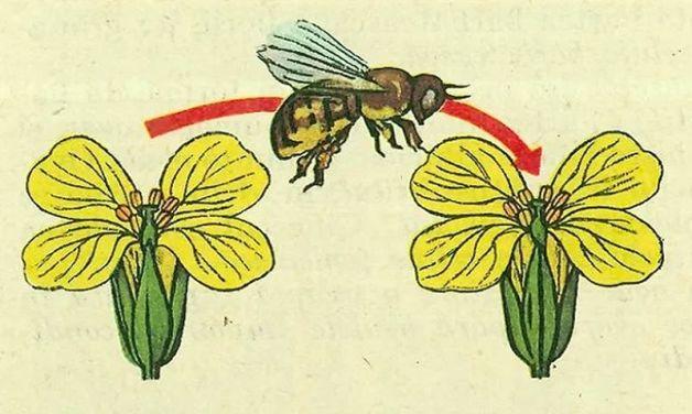 1-Floarea.-Polenizarea