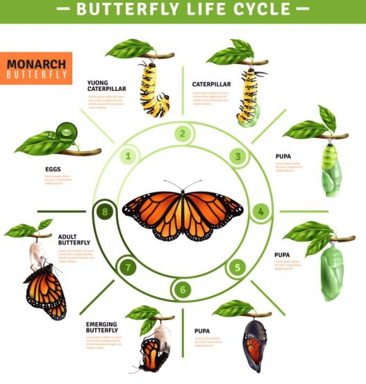 Butterfly Life Cycle Infographics